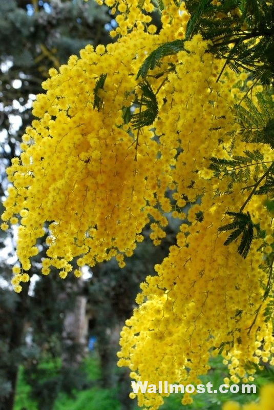 Australian Native Flowers Wallpapers Pictures Images Photos 12