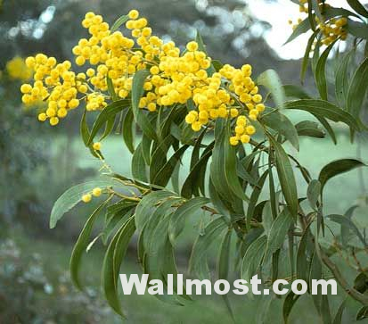 Australian Native Flowers Wallpapers Pictures Images Photos 19