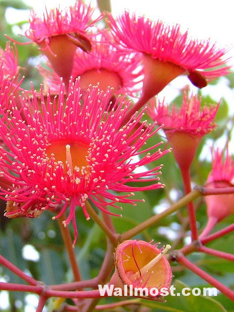 Australian Native Flowers Wallpapers Pictures Images Photos 21