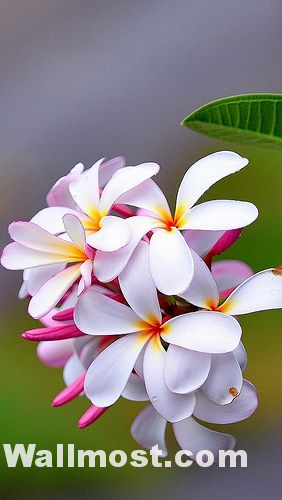 Australian Native Flowers Wallpapers Pictures Images Photos 24